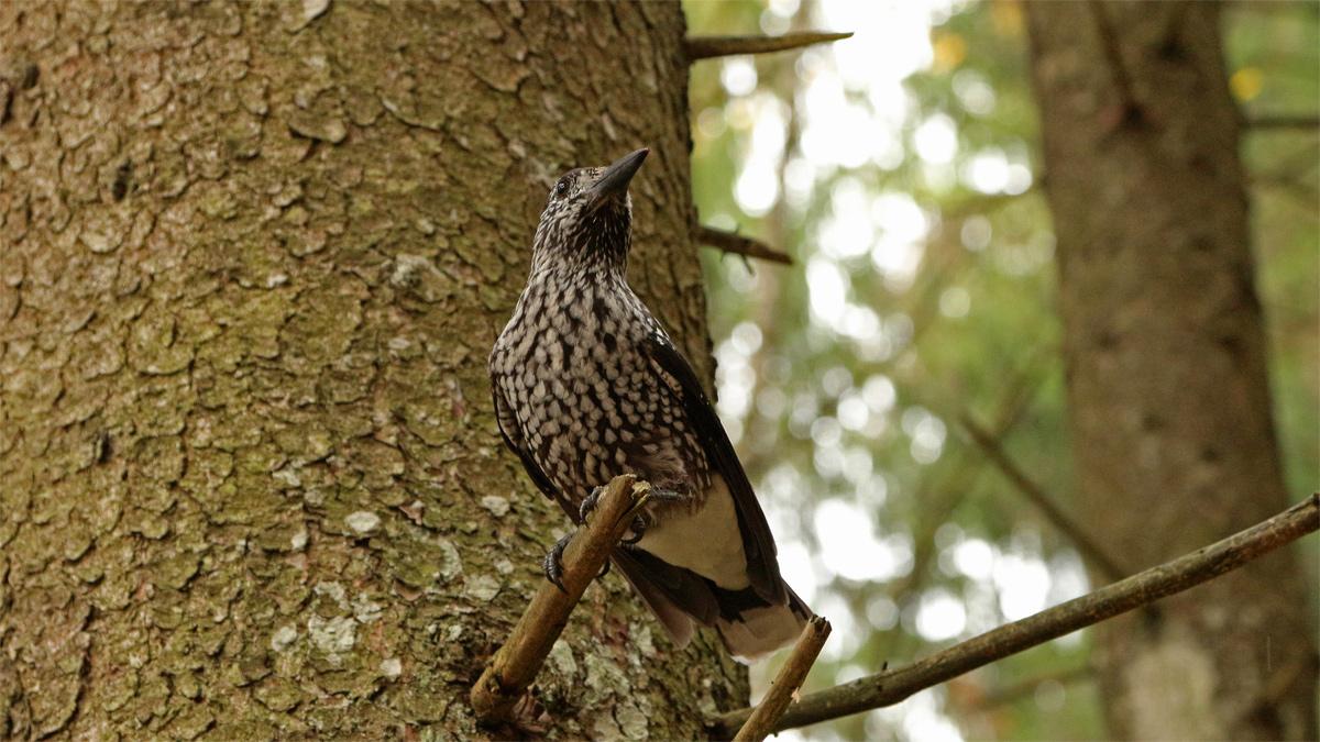 Der Tannenhäher (Nucifraga caryocatactes) gehört zur Familie der Rabenvögel