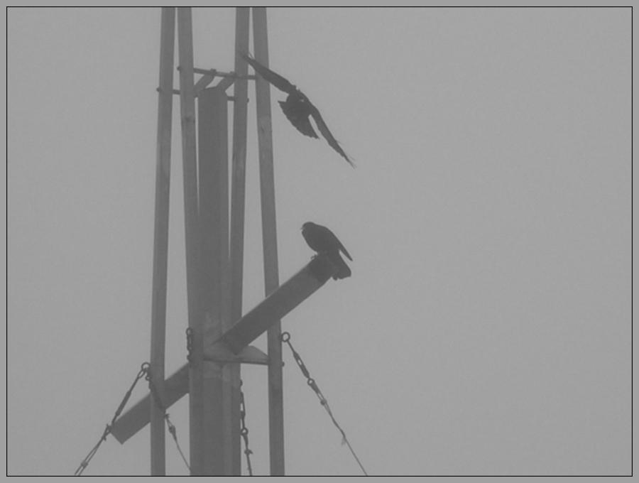 Alpendohlen sitzen im Nebel am Gipfelkreuz der Grossen Schlicke