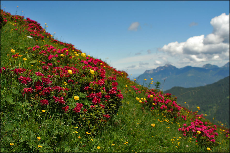 Alpenrosen am Rainberg (Galtjoch) im Bereich der Reuttener Raazalm