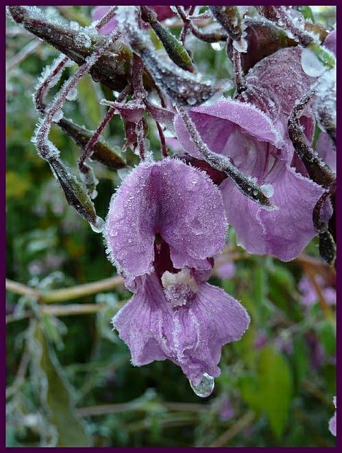 Blüte des Indischen Springkraut (Impatiens glandulifera), aufgenommen an einem frostigen Oktober-Morgen.