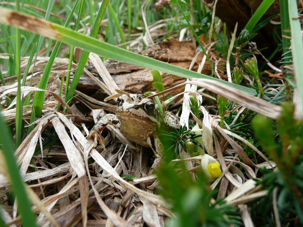 Grasfrosch im Gras