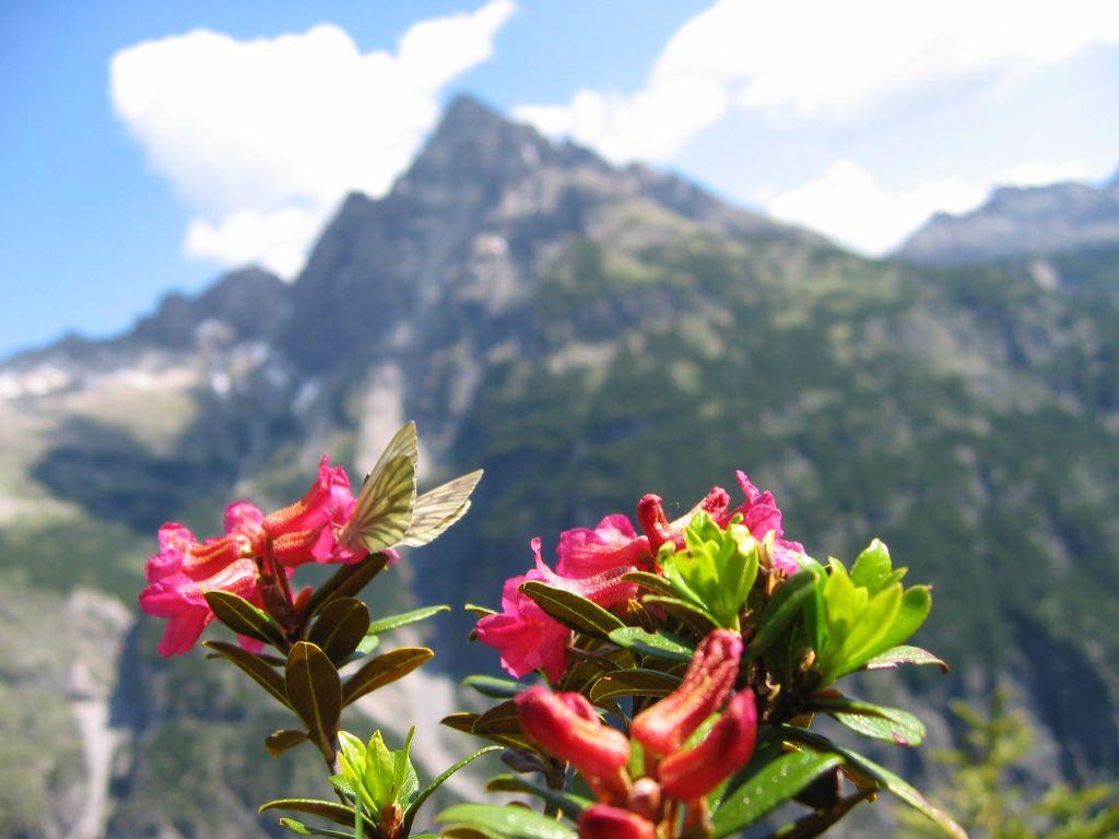 Alpenrosen am Kanzberg