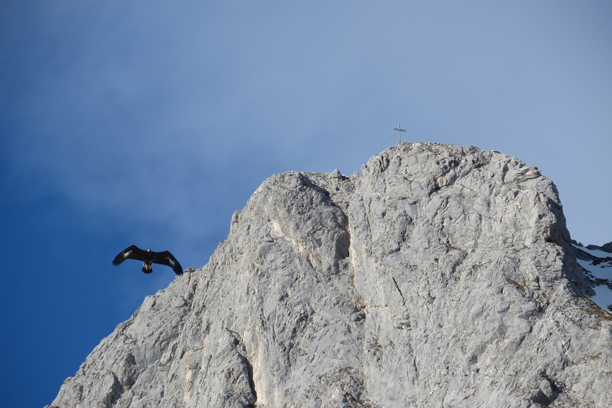 adultes Tier vor der Gehrenspitz-Südwand