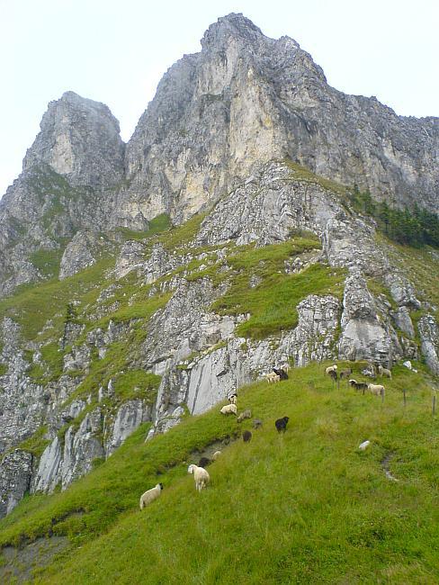 Schafe weiden am Sabachjoch, darüber der Kelleschrofen