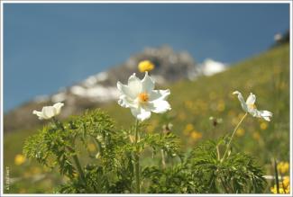Alpen-Küchenschelle (Bergmähder)