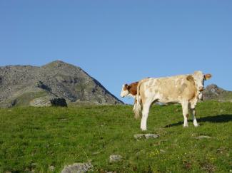 Alpine Kuhlimuhlis