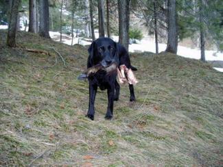 Labrador apportiert Gamslauf