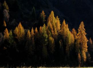 goldene Lärchen