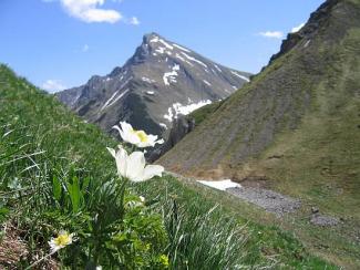 Alpen Anemone vor Namloser Wetterspitze