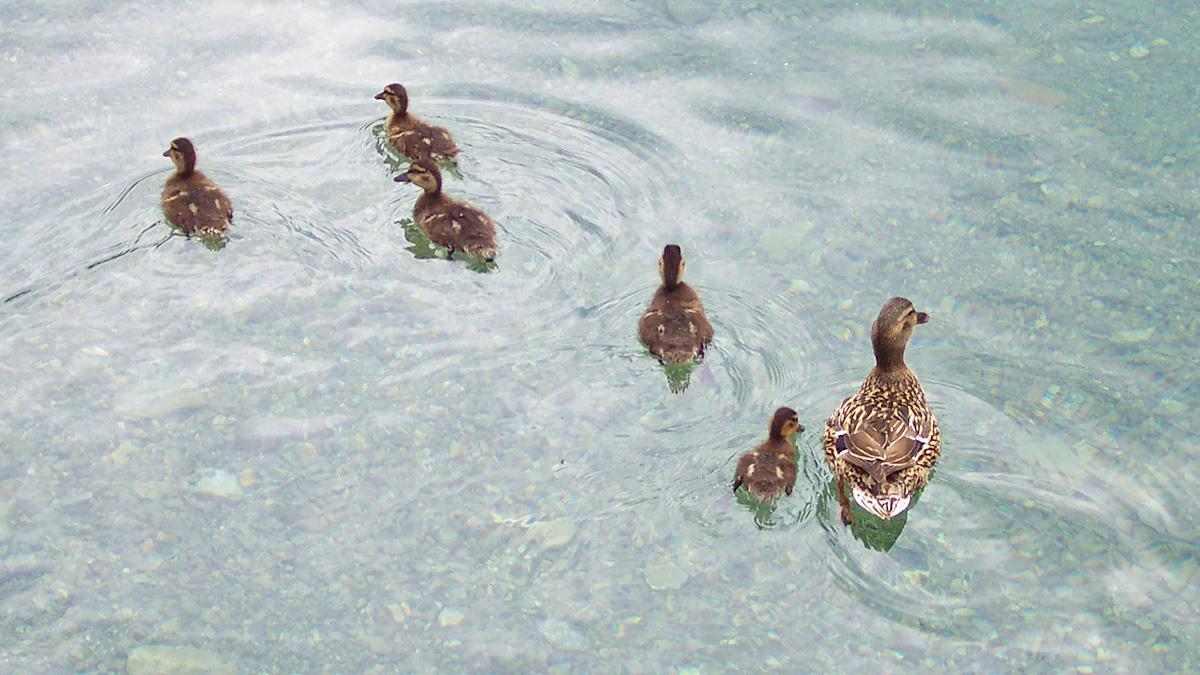 Ausflug einer Entenfamilie auf dem Fernsteinsee