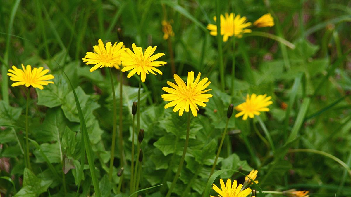 Hainsalat (Aposeris foetida) oder auch Stinksalat kam durch den stinkenden Pflanzensaft zu seinem Namen