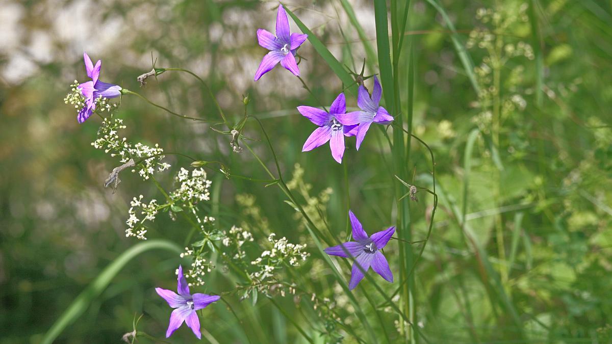 die Wiesen-Glockenblume (Campanula patula)