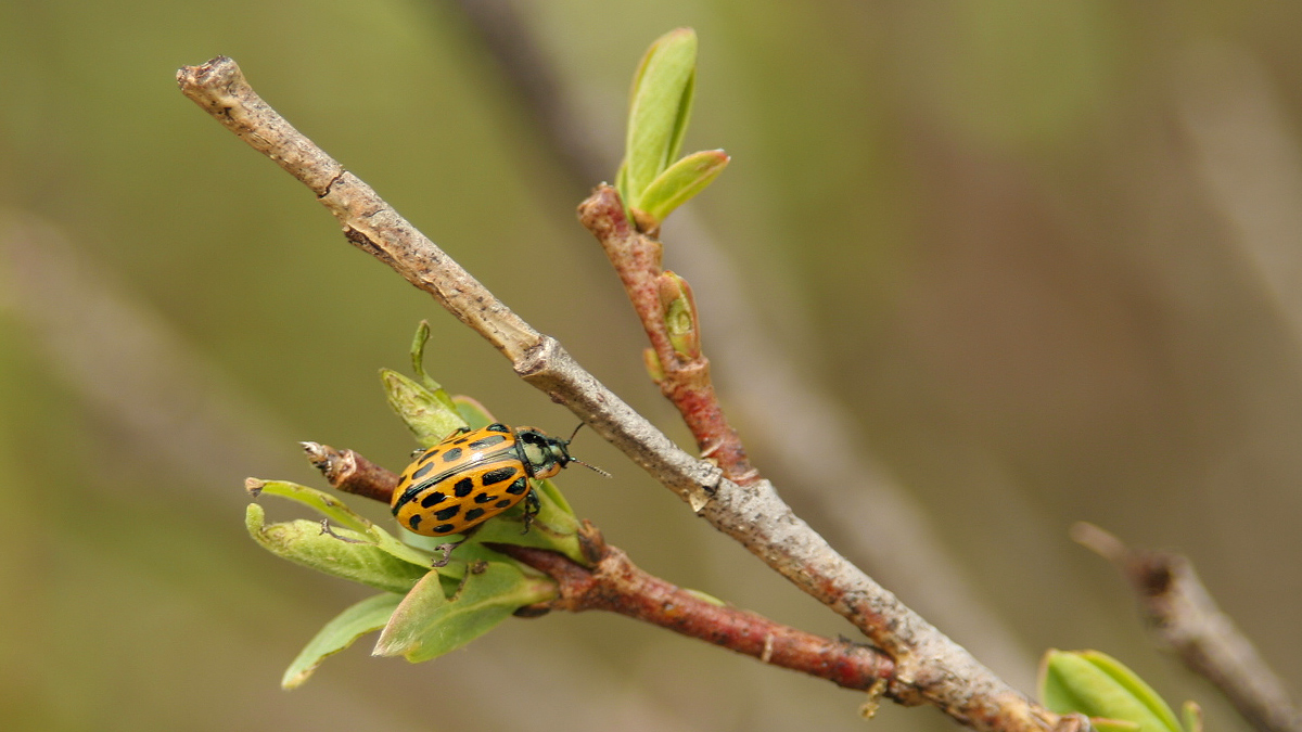 der Gefleckte Weidenblattkäfer (Chrysomela vigintipunctata) wird etwa 7 bis 8 mm lang