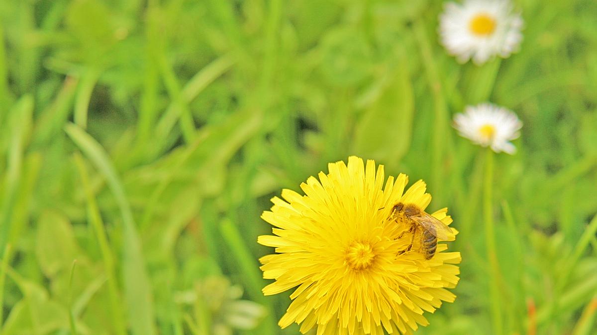 diese Biene nimmt ein Bad im Blütenstaub