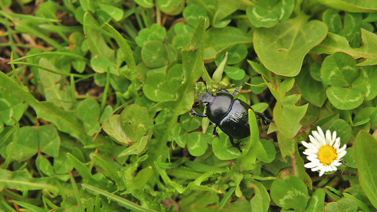 Waldmistkäfer (Anoplotrupes stercorosus) auf Nahrungssuche