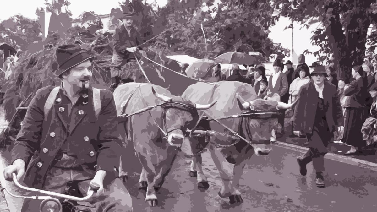 ein Ochsengespann während eines Umzuges in Burggen