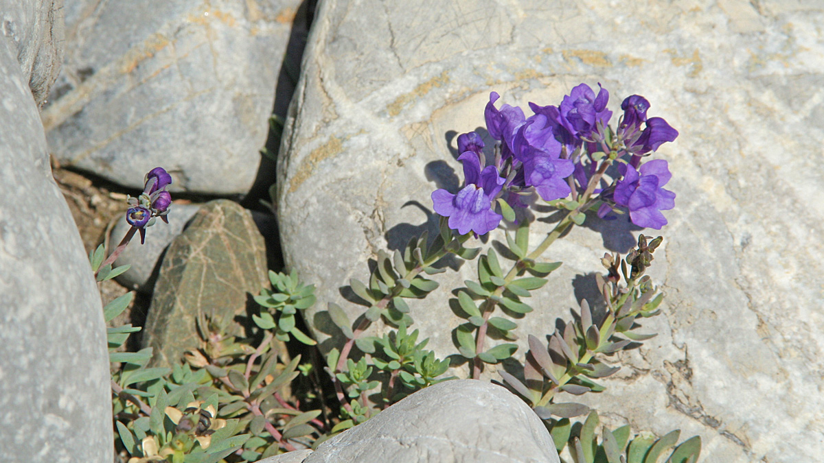 das Alpen-Leinkraut (Linaria alpina) wächst nur noch verstreut am Lech