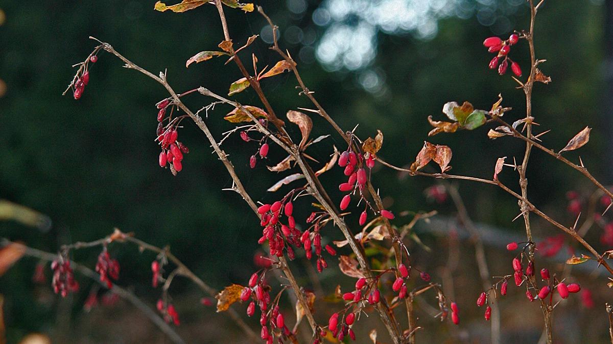 die Gewöhnliche Berberitze (Berberis vulgaris) wird häufig auch als Essigbeere bezeichnet - wer schon einmal eine der Früchte probiert hat wird wissen warum - bis auf die Früchte sind übrigens alle Pflanzenteile giftig