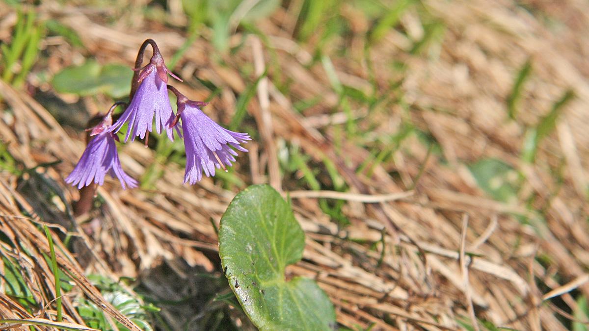 die Alpen-Soldanelle (Soldanella alpina) gehört zur Gattung der Alpenglöckchen