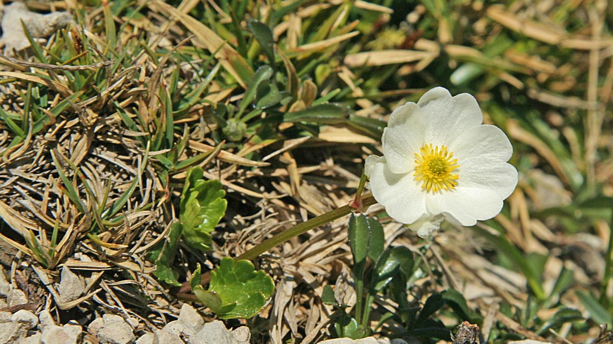 der Alpen-Hahnenfuß (Ranunculus alpestris) gilt bei Gämsen als Delikatesse