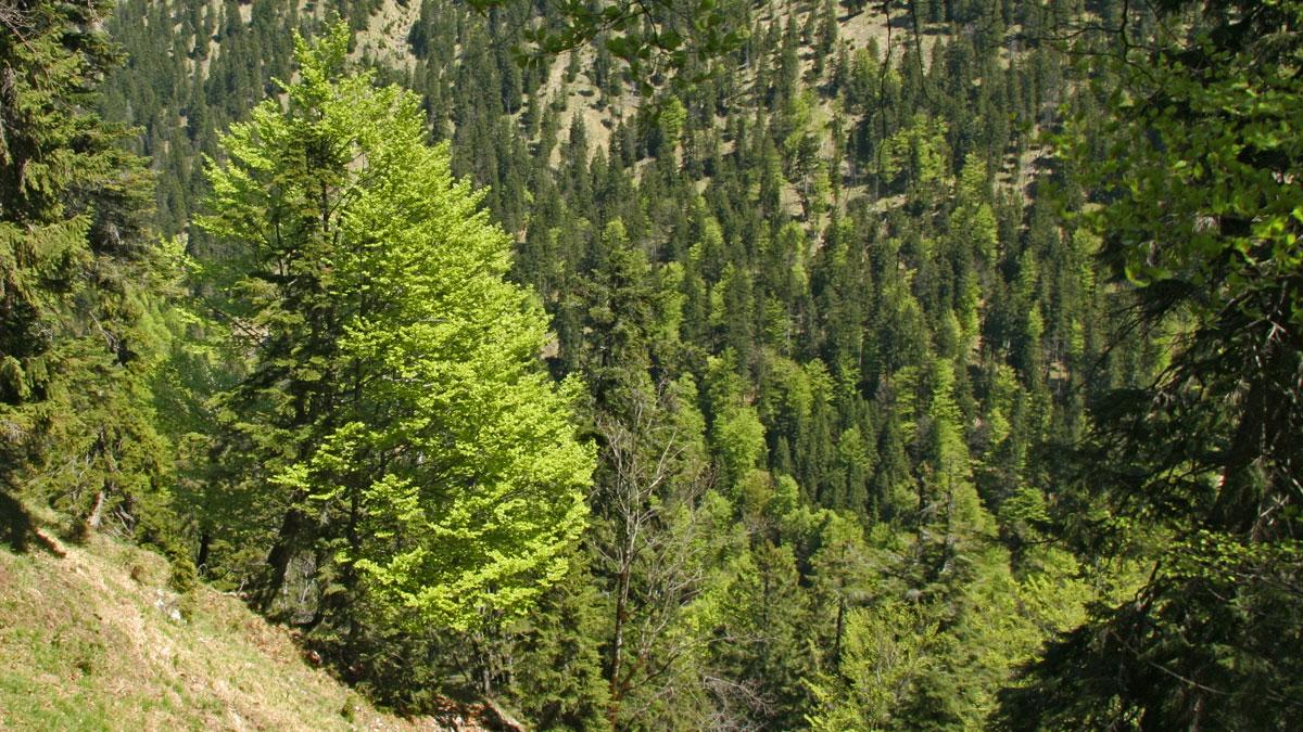 frühlingshafter Bergwald im Tal des Fischbaches