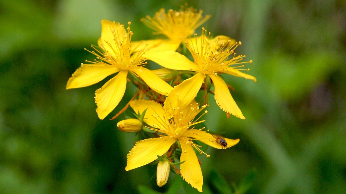 das Echte Johanniskraut (Hypericum perforatum) wird häufig auch als Arzneipflanze genutzt