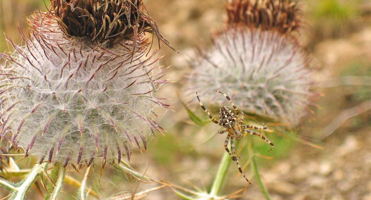 die Kreuzspinne (Araneus) beim Netzbau