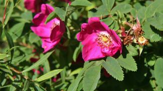 Gebirgs-Rose