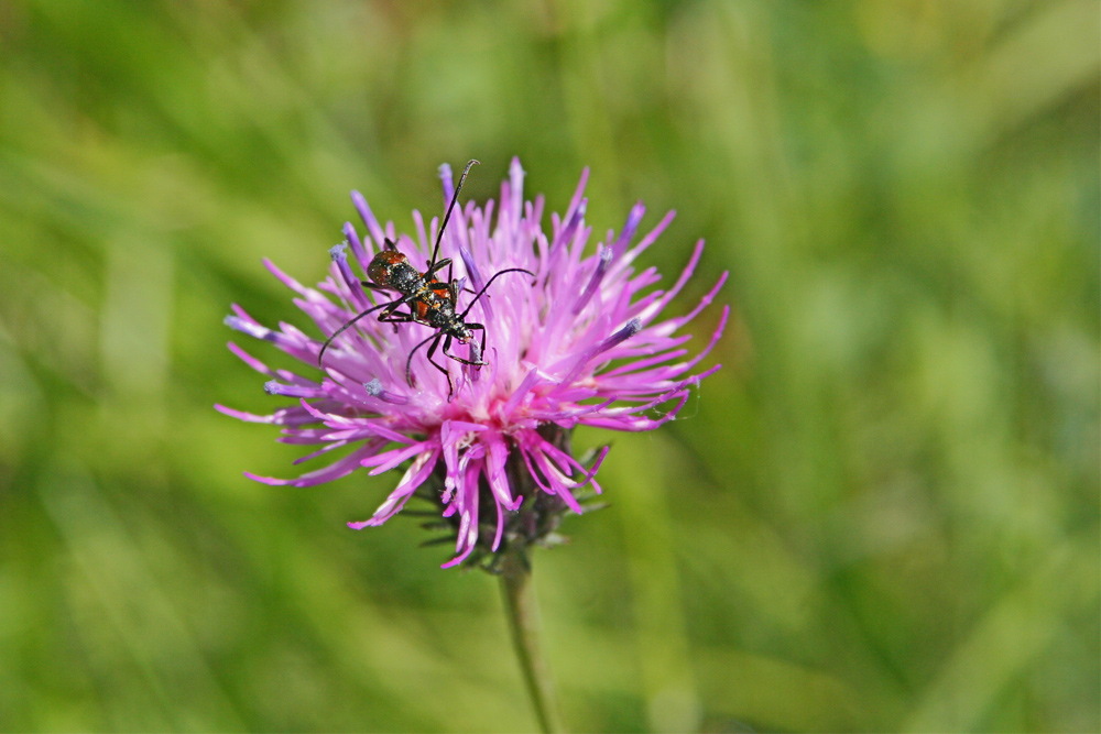 [b]Voralpen-Flockenblume[/b] [i]Centaurea alpestris[/i] Korbblütler  Bis zu 1m hohe Pflanze, Grundblätter gestielt, lange Randblütenblätter [b]Blütezeit:[/b] Juni – Sep. [b]Standort:[/b] kalkliebend, Hochstaudenfluren und Gebüsche; bis über 2000 Meter