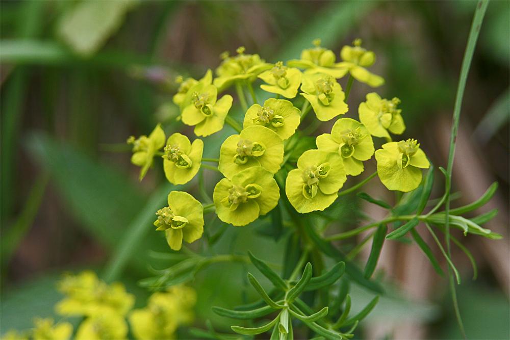 [b]Zypressen-Wolfsmilch[/b] [i]Euphorbia cyparissias[/i] Wolfsmilchgewächse  15 bis 40cm hohe Pflanze, Stängel dicht beblättert, Blütenblätter grün bis gelblich; Pflanzensaft (Latex) stark ätzend und hautreizend [b]Blütezeit:[/b] Mai – Sep. [b]Standort:[/b] kalkliebend, Felsnieschen; bis etwa 2600 Meter