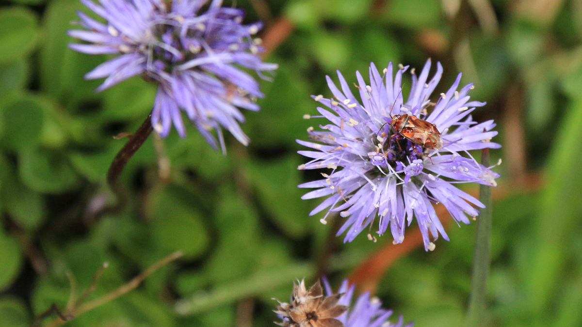 eine Gemeine Wiesenwanze (Lygus pratensis) auf der Kugelblume
