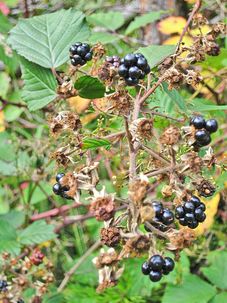 auch die Brombeeren (Rubus sectio Rubus) zählen zur Familie der Rosengewächse