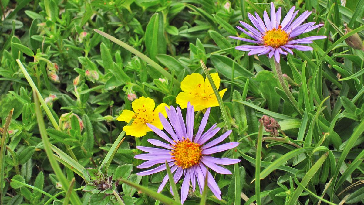 die Alpen-Aster (Aster alpinus) und das Gewöhnliche Sonnenröschen (Helianthemum nummularium subsp. glabrum)