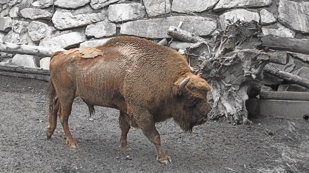 der Wisent (Bos bonasus) war einst auch in unseren Breiten heimisch - heute kann man die prachtvollen Tiere nur noch in Zoos und Gehegen bewundern (oder aber auch bedauern) - hier im Alpenzoo in Innsbruck