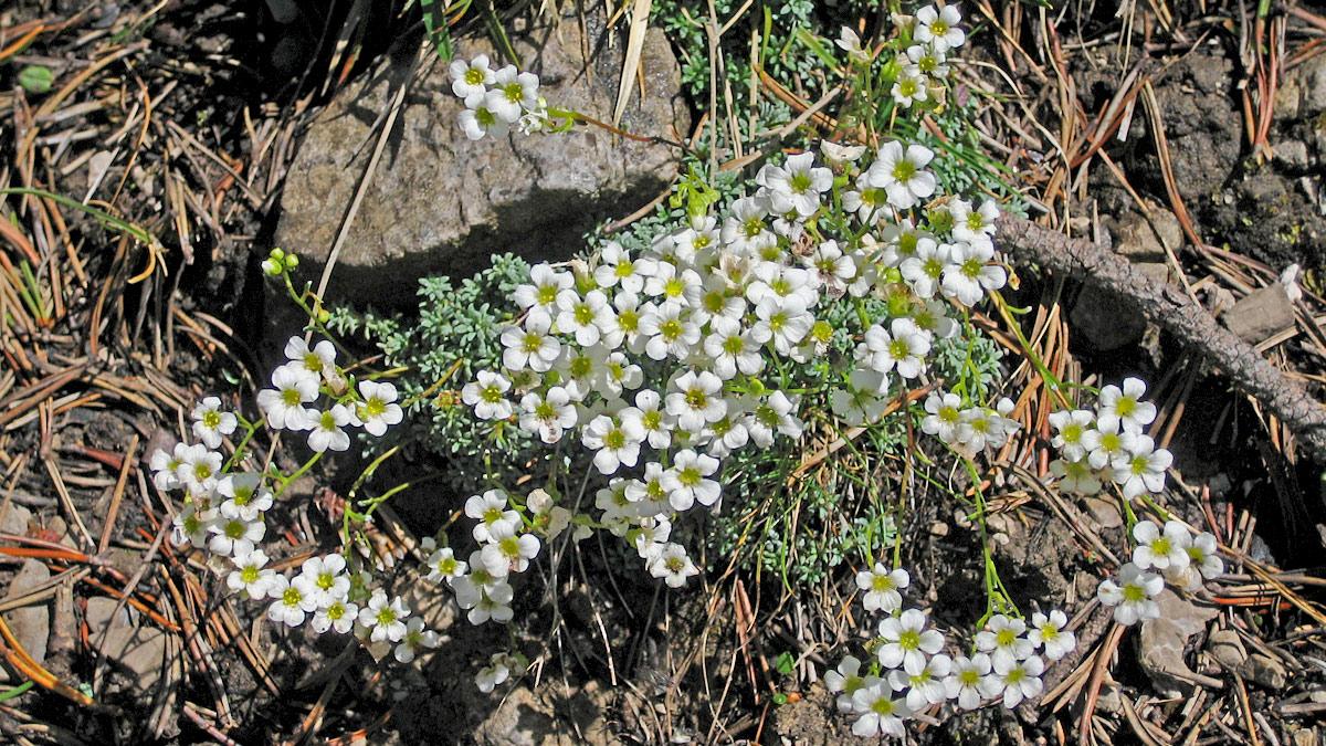 der Blaugrüne Steinbrech (Saxifraga caesia)