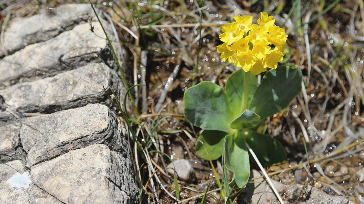 Aurikel im Durrach -  dieser Stein ist übrigens natürlich!