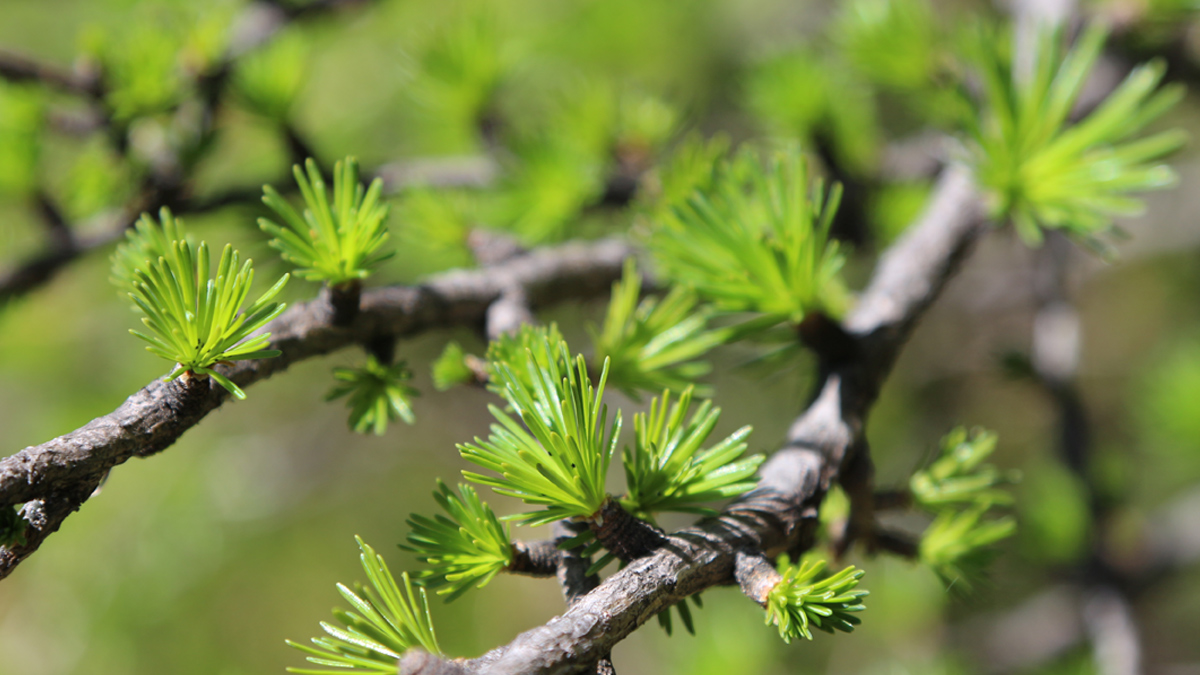 der Frühling hält auch im Hochgebirge Einzug - die Lärche treibt aus