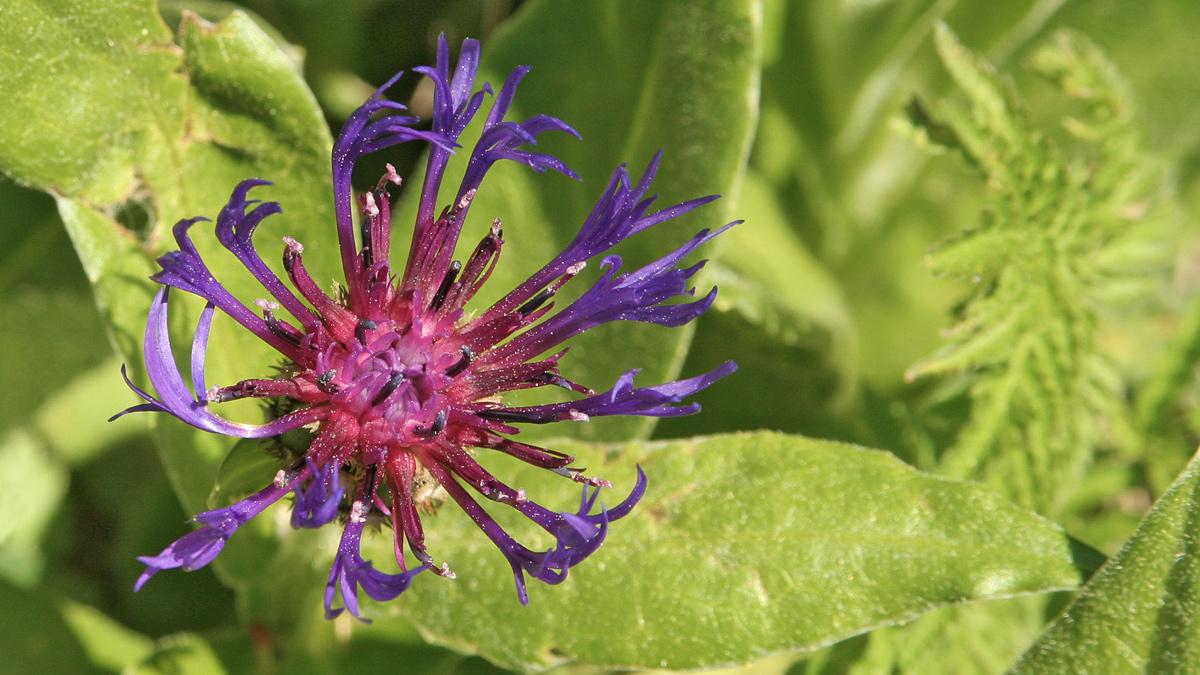 Berg-Flockenblume (Cyanus montanus)