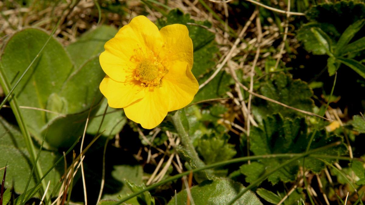 Berg-Nelkwurz (Geum montanum)