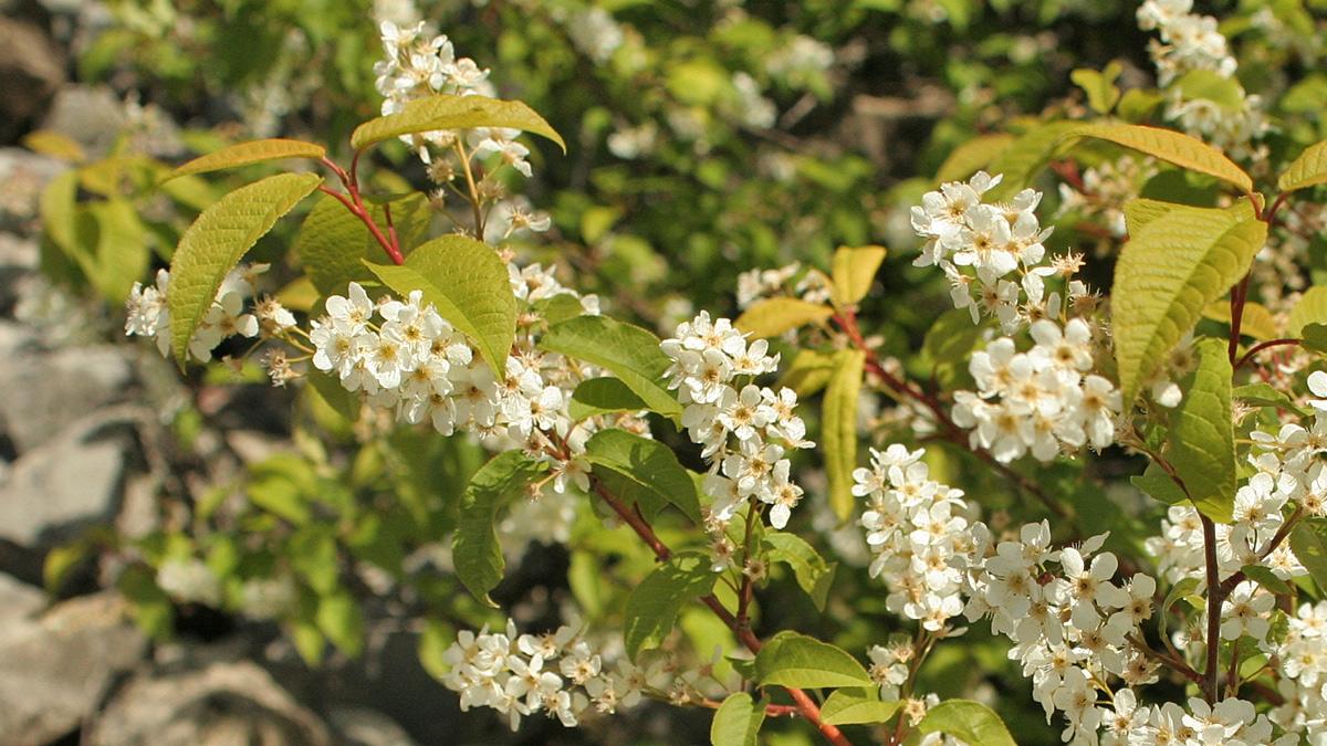 Gebirgs-Traubenkirsche (Prunus padus subsp. borealis)