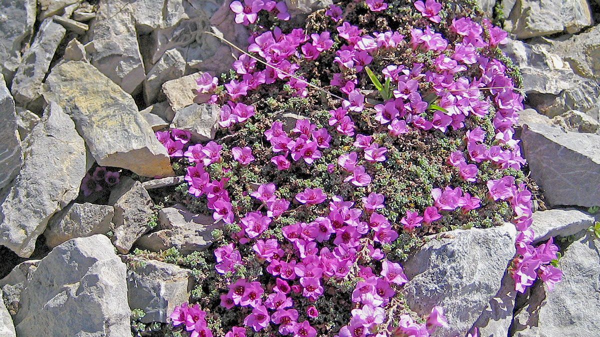 Gegenblättriger Steinbrech (Saxifraga oppositifolia) am Fallenbacher Joch