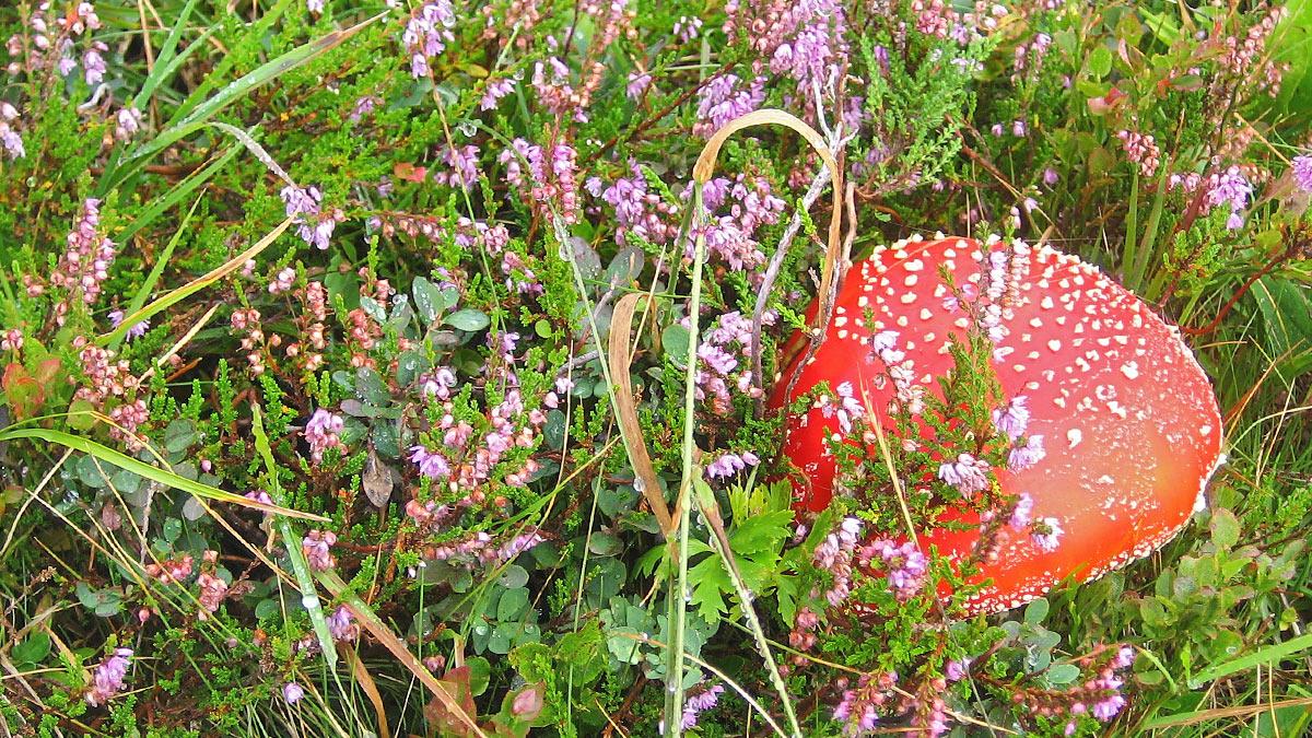 Fliegenpilz (Amanita muscaria) umgeben von Heidekraut (Erica)