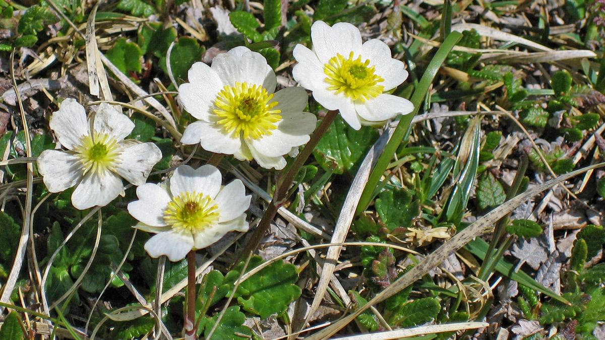 der Alpen-Hahnenfuß (Ranunculus alpestris) entwickelt sich schon unter der Schneedecke und ist daher bestens auf ein Leben im Hochgebirge eingerichtet