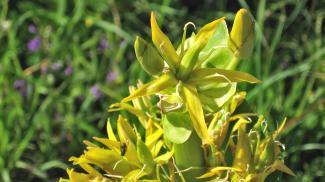 Gelber Enzian - Blütendetail