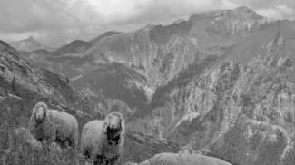 Schafe am Geißhorn