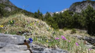 alpine Blumenwiese beim Scheffelgras