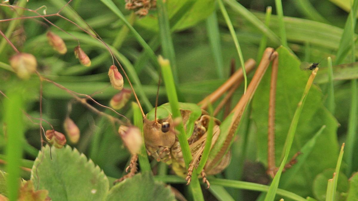 ein Vertreter aus der Familie der Laubheuschrecken (Tettigonioidea)
