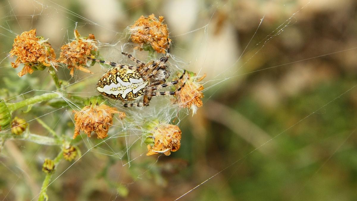 weibliche Eichblatt-Radspinne (Aculepeira ceropegia)