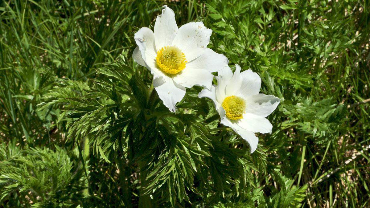die geschützte Alpen-Küchenschelle (Pulsatilla alpina subsp. alpina) zählt zur Familie der Hahnenfußgewächse