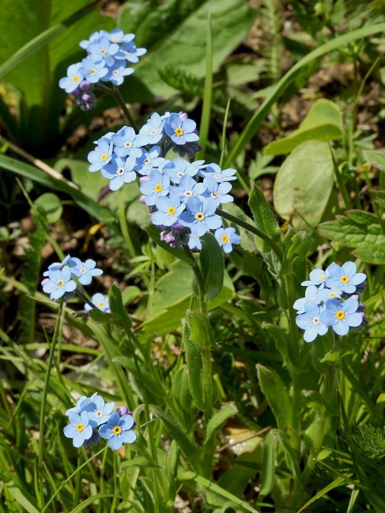 das Alpen-Vergissmeinnicht (Myosotis alpestris)